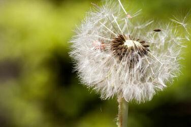 Bild mit Natur, Blumen, Korbblütler, Makrofotografie, Löwenzahn, Pusteblume