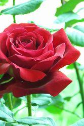 Bild mit Blume, Rose