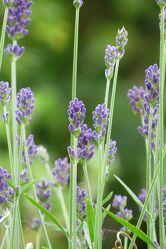 Bild mit Lavendel, Blume, blüte