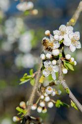 Bild mit Blume, Pflanze, blühender Kirschbaum, Kirschblüten, Biene