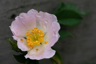 Bild mit Blume, Pflanze, Regentropfen, Blüten