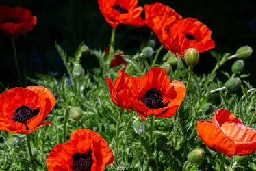 Bild mit Pflanzen, Blumen, Mohn, Blume, Pflanze, Mohnblume, Mohneblumen, Mohnpflanze, Klatschmohn, Mohngewächse, Mohnfeld, Mohnblüte