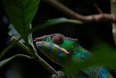 Bild mit Tiere, Reptilien, Animals, Reptil, exotisch, EXOTIC, chameleon
