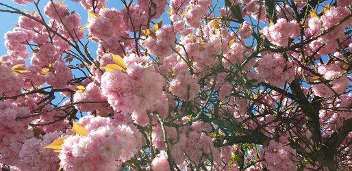 Bild mit Obstbäume, Sommer, Blauer Himmel, blühender Kirschbaum, Kirschblüte, sommerblüten