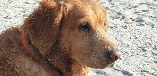 Bild mit Strand, Sandstrand, Hund, Rassehunden, Golden Retriever, Hundestrand