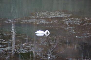 Bild mit Wasser, Gewässer, Schwäne, Waldsee, Ruhe am See, Einsamkeit