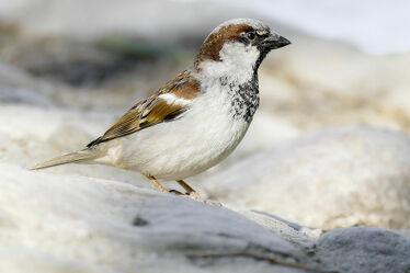 Bild mit Vögel, Männchen, Portrait, Haussperling, Spatz, Singvögel, Sperling, einzelner Vogel