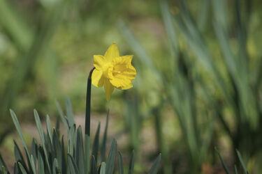 Bild mit Gelb, Natur, Grün, Grün, Gräser, Gras, blüte, narzisse, osterglocke, Gelbe Narzisse