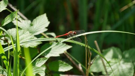 Bild mit Pflanzen, Tageslicht, Sommer, Flügel, Wald, Blätter, Makrofotografie, Libelle, Details