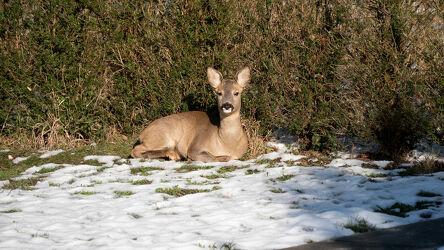 Bild mit Augen, Winter, Schnee, Schnee, Wald, Tier, Fauna, Flora, ohren, Reh