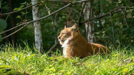 Bild mit Natur, Natur, Wald, Waldlichtung, Sonnenschein, Raubkatze, Wiesengras, Fauna, Wildtier, Luchs