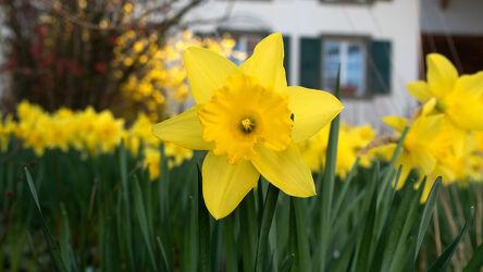 Bild mit Gelb, Natur, Blumen, Frühling, Makroaufnahme, Gartenblumen, frisch, Gelbe Narzisse