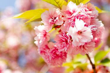 Bild mit Natur, Baum, Kirschblüten, obstblüten, nahaufnahme, romantisch, Kirschblüte, Sanft