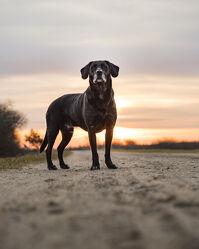 Bild mit Sonnenaufgang, Hund, Familienhund, Hundebild, Hochformat, Haustier, Stehend, labrador, Rüde, labbi