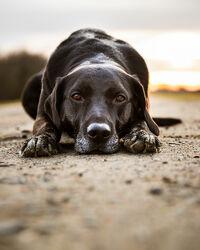 Bild mit Sonnenaufgang, Hund, Familienhund, Hundebild, Hochformat, Haustier, Liegend, labrador, Rüde, labbi