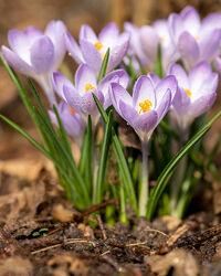 Bild mit Lila, Frühling, Blume, Wassertropfen, frühlingsblumen, Blumen & Makro, blüte, Krokus, Jahreszeit, blühen
