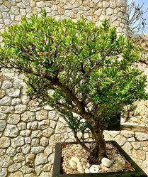 Bild mit Bäume, Baum, Mauerstein, Mauerstruktur, Olivenbaum