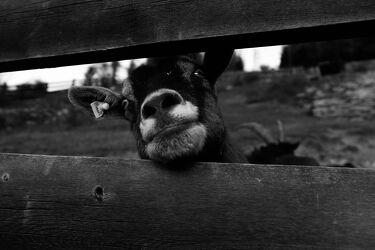 Neugierige Ziege