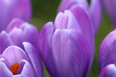 Lila Krokusse im Frühling