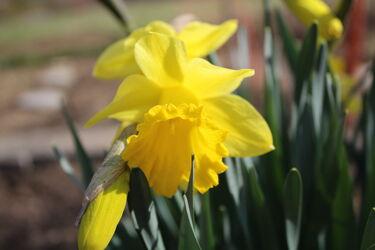 Bild mit Gelb, Frühling, osterglocke, Gelbe Narzisse