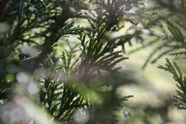 Bild mit Natur, Grün, Pflanze, nahaufnahme, Thuja