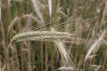 Bild mit Natur, Getreide, Roggen