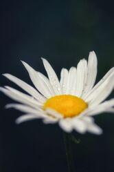 Bild mit Pflanzen, Blumen, Frühling, Sommer, Makrofotografie, Flower, Flowers, Margerite, Blumenfotografie, Marko