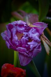 Bild mit Pflanzen, Blumen, Lila, Frühling, Makrofotografie, Flower, Flowers, detailaufnahme, Blumenfotografie, Marko