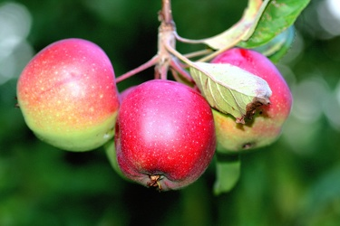 Bild mit Früchte,Lebensmittel,Essen,Blumen,Frucht,Apfel,Apfel