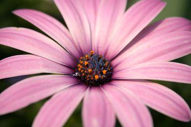 Bild mit Natur, Pflanzen, Jahreszeiten, Blumen, Rosa, Frühling, Korbblütler, Gerberas