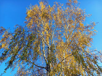 Bild mit Himmel, Bäume, Birken, Wald, Baumkrone, Baum, Birke, Betula, Hänge Birke, Weiß Birke