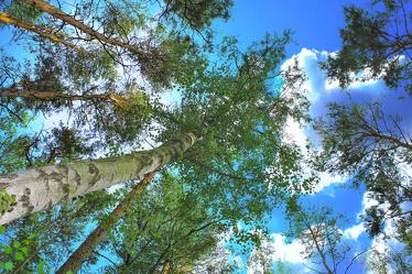 Bild mit Natur, Grün, Himmel, Bäume, Nadelbäume, Wolken, Wälder, Weiß, Laubbäume, Birken, Wald, Baumkrone, Lichtung, Baum, Birke, Waldweg, Nadelbaum, Wolkenhimmel, Baumstamm, Landschaft, Märchenwald, Waldblick, Blick in den Wald, Forstwirtschaft, Forest, Waldbild, Waldbilder, Wald Bild, Wald Bilder, Sky, Birkenwald, Birkenwälder, Birkenblätter, Birkengewächs, Laubbaum, Nature, Tree, Baumstämme, Mischwald, Blick in den Himmel durch die Baumkronen