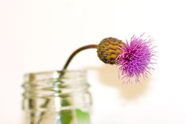 Bild mit Natur, Pflanzen, Blumen, Korbblütler, Disteln, Blume, Pflanze, Distel