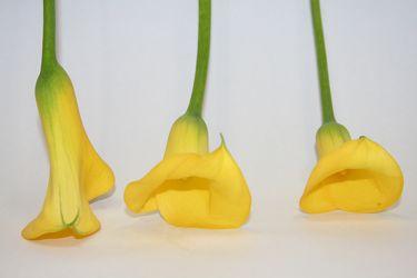 Bild mit Farben, Gelb, Natur, Grün, Pflanzen, Blumen, Blume, calla lily, Calla, Zantedeschien, Callas, Kalla, Calla-Lilien, kalós, καλός, Zantedeschia, Calla lillies, gelbe Calla