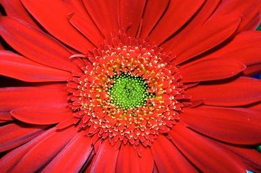 Bild mit Natur, Pflanzen, Blumen, Korbblütler, Gerberas, Rot
