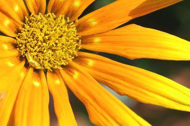 Bild mit Farben,Gelb,Natur,Pflanzen,Blumen,Korbblütler,Sonnenblumen,Blume