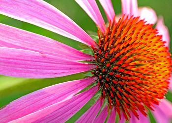 Bild mit Farben, Natur, Pflanzen, Blumen, Rosa, Korbblütler, Blume, Pflanze, Flower