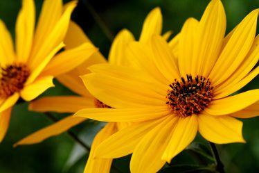 Bild mit Natur, Pflanzen, Blumen, Korbblütler, Sonnenblumen, Blume, Pflanze