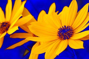 Bild mit Farben, Gelb, Natur, Pflanzen, Blumen, Korbblütler, Blau, Sonnenblumen