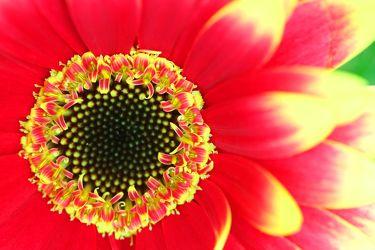 Bild mit Farben, Gelb, Natur, Pflanzen, Blumen, Korbblütler, Gerberas