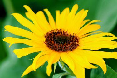 Bild mit Farben, Gelb, Natur, Pflanzen, Blumen, Korbblütler, Sonnenblumen, Blume, Pflanze