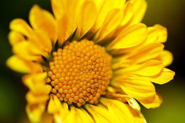 Bild mit Farben,Gelb,Natur,Pflanzen,Himmel,Jahreszeiten,Blumen,Frühling,Korbblütler,Sonnenblumen