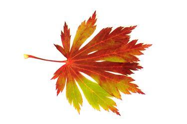 Bild mit Farben, Orange, Natur, Pflanzen, Bäume, Jahreszeiten, Blumen, Herbst, Struktur, Blätter, Blatt, Blattstruktur, Blätterstruktur
