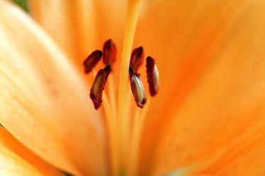 Bild mit Farben,Orange,Gelb,Natur,Pflanzen,Blumen,Blume,Pflanze,Lilie