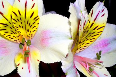 Bild mit Farben,Gelb,Natur,Pflanzen,Blumen,Weiß,Rosa,Orchideen,Orchidee,Orchid,Orchids,Orchideengewächse,Orchidaceae