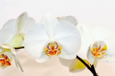 Bild mit Natur,Pflanzen,Jahreszeiten,Blumen,Frühling,Orchideen,Blume,Orchidee,Orchid,Orchids,Orchideengewächse,Pflanze,Orchidaceae