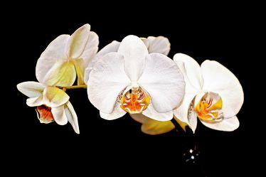 Bild mit Natur,Pflanzen,Blumen,Orchideen,Blume,Orchidee,Orchid,Orchids,Orchideengewächse,Pflanze,Orchidaceae,Grammatophyllum speciosum,weiße Orchideen vor schwarzen Hintergrund,Tiger Orchidee