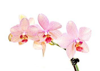 Bild mit Farben,Gegenstände,Natur,Pflanzen,Blumen,Rosa,Orchideen,Blume,Orchidee,Orchidee,Orchid,Orchids,Orchideengewächse,Pflanze,Orchidaceae,Grammatophyllum speciosum,Orchideen vor weißen Hintergrund,Tiger