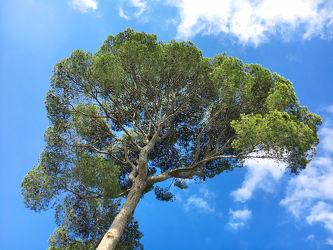 Bild mit Himmel, Bäume, Baum, Nadelbaum, Pinie, Mittelmeer Pinie, Pinus pinea, Italienische Steinkiefer, Mittelmeer-Kiefer, Schirm-Kiefer, Wolkenhimmel, Kiefer, Kiefergewächs, Pinus, Pinaceae