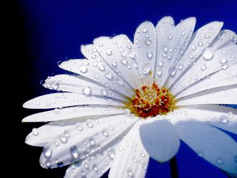 Bild mit Natur, Elemente, Wasser, Pflanzen, Himmel, Blumen, Weiß, Korbblütler, Gerberas, Kamillen, Blume, Pflanze, Flower